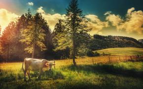 牛, COW, 自然, 偶蹄類, 牧草
