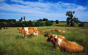 корова, коровы, быки, природа, парнокопытные, пастбище