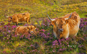 vache, COW, taureaux, nature, artiodactyles, pâturage