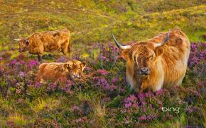 vaca, COW, touros, natureza, artiodáctilos, pasto