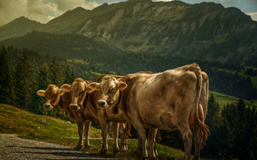 cow, COW, bulls, nature, artiodactyls, pasture, Mountains