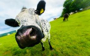 牛, COW, スナウト, 自然, 偶蹄類, 牧草