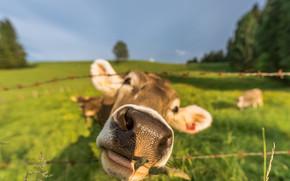vaca, COW, Hocico, naturaleza, artiodáctilos, pasto