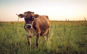 корова, коровы, природа, парнокопытные, пастбище