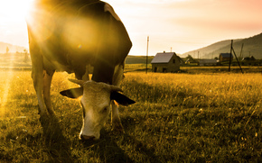牛, 牛, 性质, 偶蹄动物, 牧场