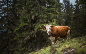 cow, COW, nature, artiodactyls, pasture, forest