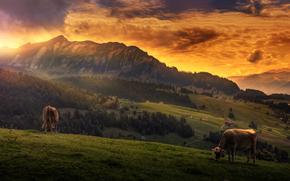 корова, коровы, природа, парнокопытные, пастбище, горы