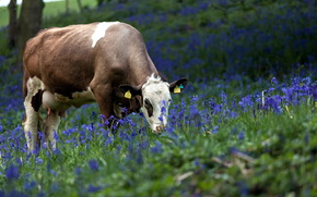cow, COW, nature, artiodactyls, pasture, meadow, Flowers