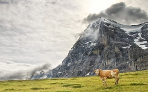 cow, COW, nature, artiodactyls, pasture, Mountains