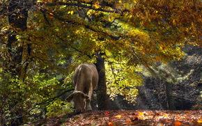 vache, COW, nature, artiodactyles, forêt