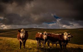 корова, коровы, природа, парнокопытные, пастбище, тучи