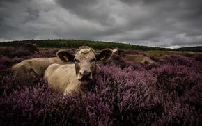 корова, коровы, природа, парнокопытные, пастбище, лаванда, тучи