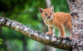猞猁, 山猫, rysyata, rysenok, 猫, 猫, 野猫, 性质, 动物