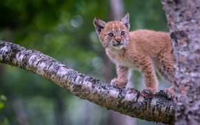 lince, Lynx, rysyata, rysenok, gatto, gatto, Wildcats, natura, animali