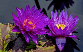 grążel, Lilie wodne, Kwiaty, flora