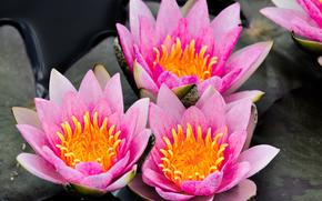 睡莲, 睡莲, 花卉, 植物群