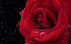 rosa, gocce, fiore, flora, Macro