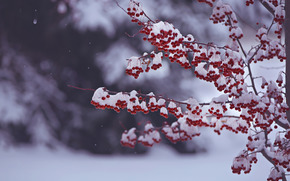 BERRY, fruit, BRANCH, snow, winter