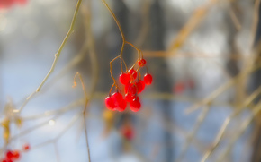BERRY, fruit, winter, BRANCH