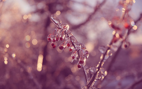 BERRY, fruit, BRANCH, ice, SPRING