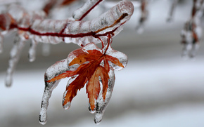 branch, leaves, glaciation, ice, Macro
