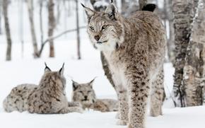 рысь, рыси, кошка, кошки, дикая кошка, природа, животные