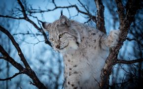 lynx, Lynx, cat, cat, fauve, nature, animaux