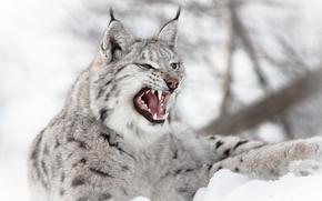 lince, Lynx, gatto, gatto, gattopardo, natura, animali