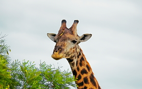 Africa, African animals, photo-sketchings naturalist, giraffe, Large, he knows better
