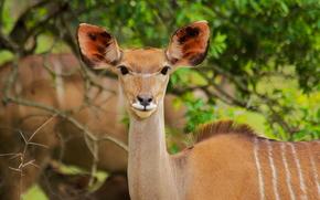 Африка, африканские животные, фотозарисовки натуралиста, антилопа, ничего не лопает, фигурку держит, как я