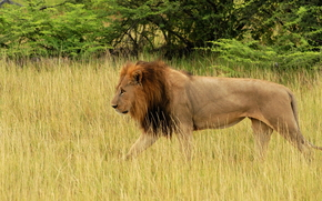 Afrique, Animaux africains, photo-naturaliste sketchings, lion, Le Roi Lion, marchant dans un champ