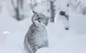 lince, Lynx, rysenok, gatto, gatto, gattopardo, natura, animali