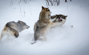winter, Wolves, predators