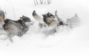 wolf, Wolves, animals, winter, snow