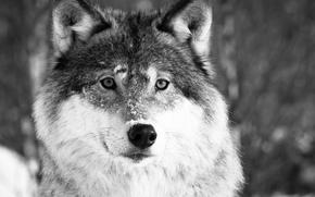 lupo, Lupi, animali, inverno, ritratto