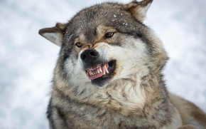 loup, Wolves, animaux, hiver, portrait