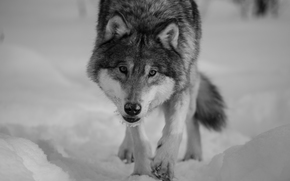 wolf, Wolves, animals, winter, portrait