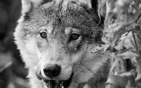 wolf, Wolves, animals, portrait, Mono