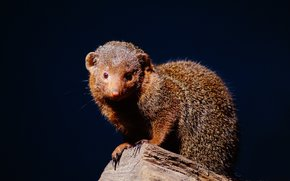 mongoose, mongoose, animal