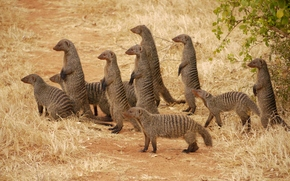 мангусты, семья, животные