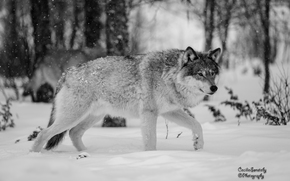 wolf, Wolves, animals, winter, Mono