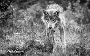 loup, Wolves, animaux, Mono