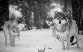 Wolf, Wolves, Tiere, Winter, Mono