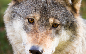 wolf, Wolves, animals, portrait