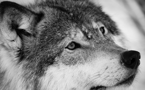 Wolf, Wolves, Tiere, Winter