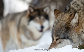 loup, Wolves, animaux, hiver