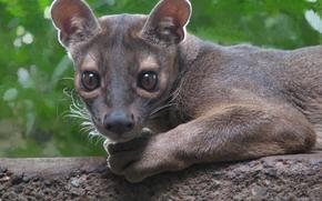 Foss, Fossa, carnivorous mammal of the family of Madagascar civets, Cryptoprocta