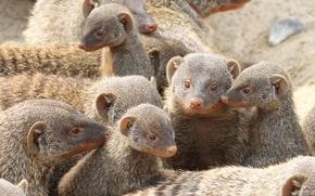 мангуст, mongoose, животное