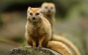mongoose, mongoose, animal