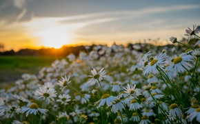 sunset, Chamomile, Flowers